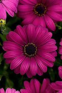 Osteospermum Ecklonis Flowerpower Purple Red