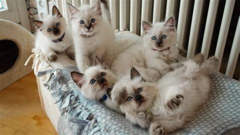 unsere suessen heilige birma kitten samira lounis shina