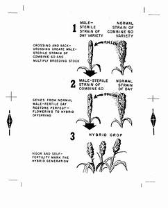 [Hybrid Sorghum Diagram] - The Portal to Texas History