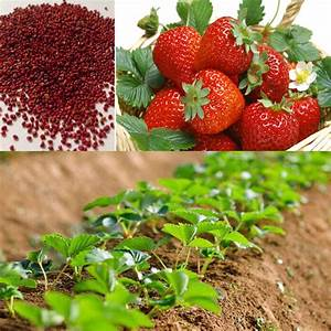 100pcs Red Strawberry Climbing Strawberry Fruit Plant ...