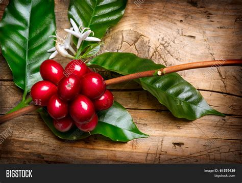 Coffee Plant. Red Coffee Beans Image & Photo Commercial Coffee Machine Rental Malaysia Supplies Machines To Rent Northern Ireland Gregorys Hot Chocolate Hire Brisbane Us Temperature Vending Price In India