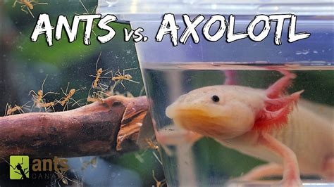 video ants  axolotl antscanada