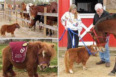 miniature horse horses pony pet brown pets exotic own standing near tiny star blonde being legally archzine