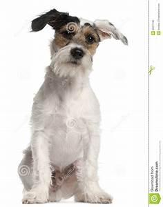 Filhote De Cachorro Do Terrier De Fox, 6 Meses Velho ...