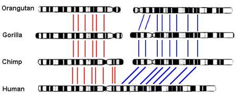 human ape chromosome differences