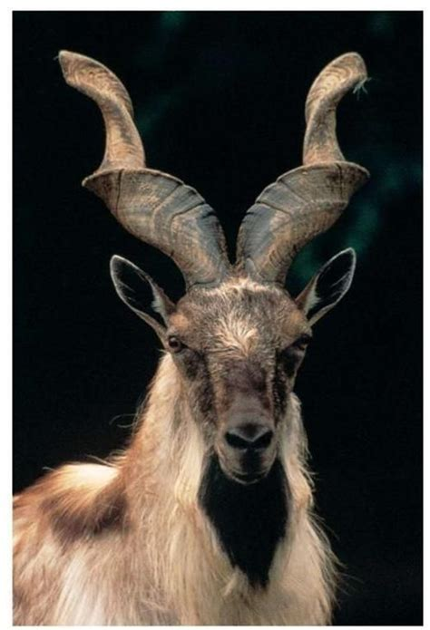 34 Best Images About Goat Tattoo On Pinterest Horns