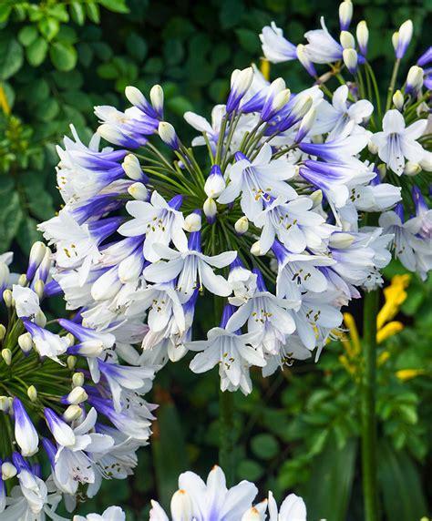 canap h et h achetez maintenant une plante vivace agapanthe bicolore