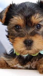 1000+ images about Yorkie Puppy Names For Girls and Boys ...
