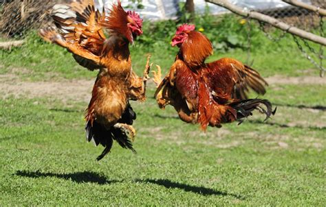 rooster fights wallpapers high quality