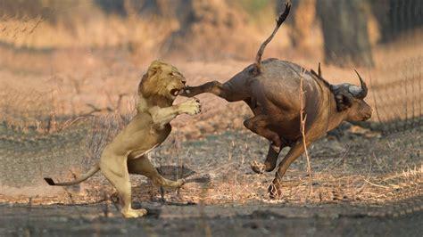 buffalo   save warthog  pride  lions hunting