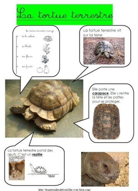 le pour tortue terrestre fiche identite tortue terrestre jpg fiche signal 233 tique animaux animaux and