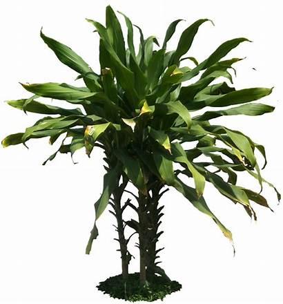 Tropical Plant Transparent Plants Background Dracaena Fragrans
