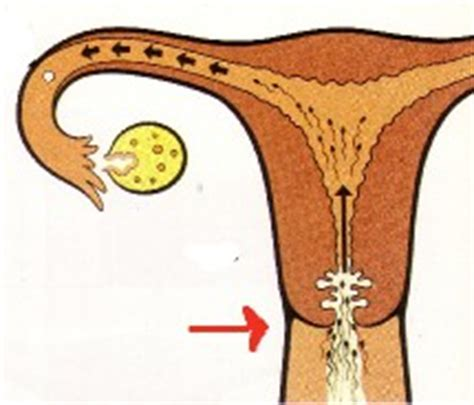 fertile ou infertile l observation du cycle f 233 minin