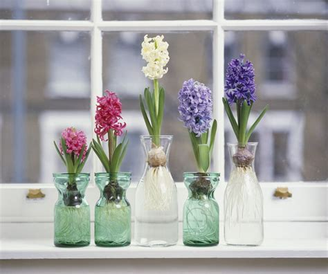 how to plant bulbs how to grow hyacinth flowers indoors