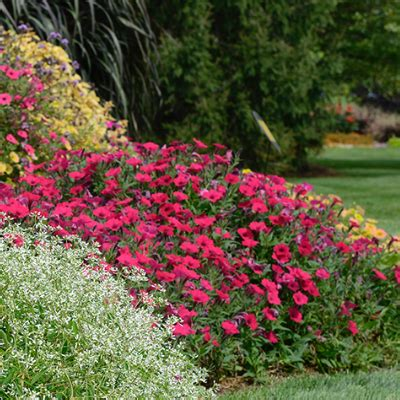 what is an annual plant annuals at the home depot