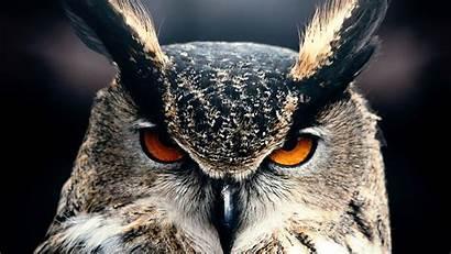 4k Owl Gray Nature Wild Eyes Os
