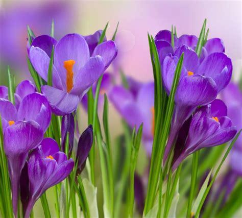 saffron flower the ancient flower that heals the human soul