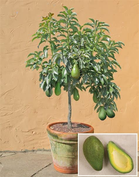 1 avocado seed enano tree free shipping