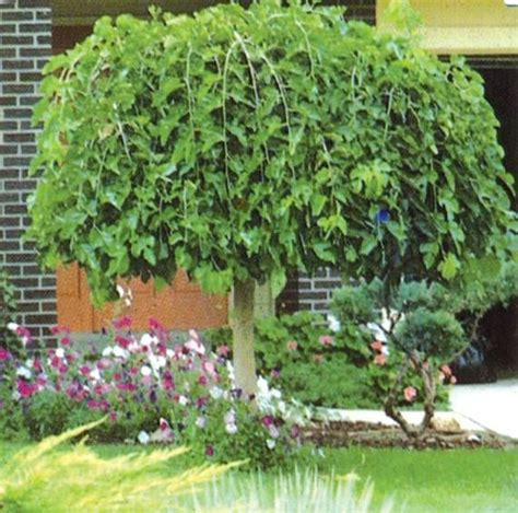 weeping mulberry tree care pin by alisa larson on garden yard ideas pinterest