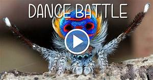 Peacock Spider Teaches You How To Wiggle Your Way To Court