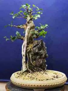 the bonsai tree bonsaihunk 39 s fig trees and tropicals as bonsai page 3