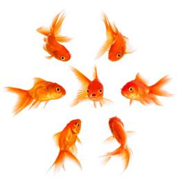 types  goldfish