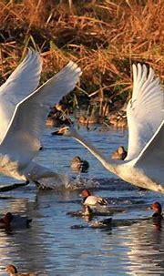 White wings   GANREF