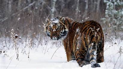 Snow Tiger Animals Wallpapers Background Taiga Siberian