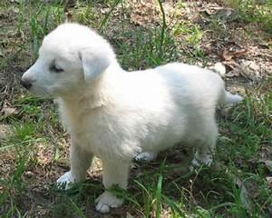 Animals Plannet: white german shepherd puppies