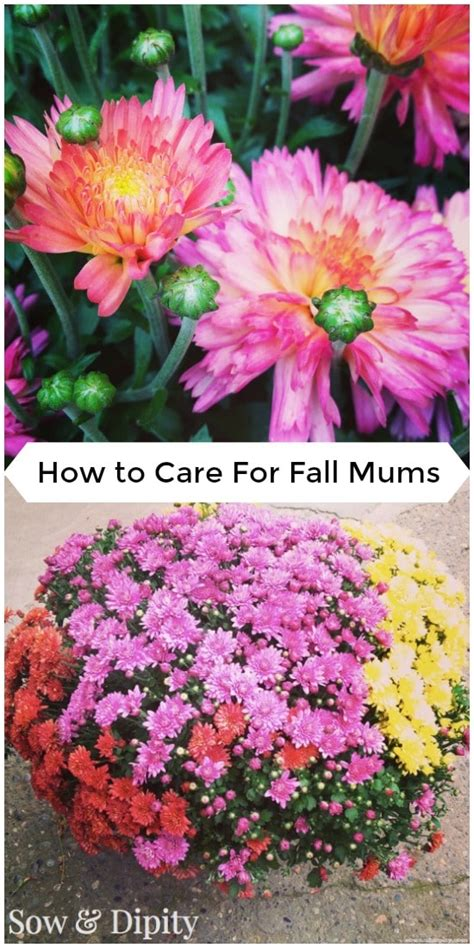 how to take care of mums in fall how to care for fall mums