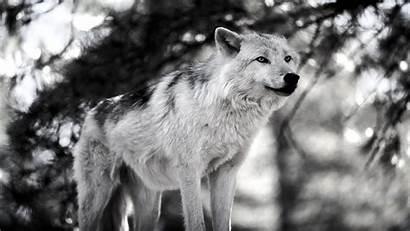Wolf Wallpapers Desktop Pixelstalk