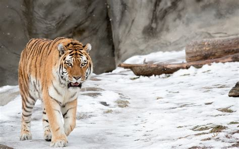 Animal Wallpaper For Home - tiger animals snow winter nature wallpapers hd