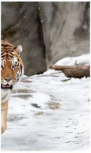 Transhu: Background Tiger Hd Pics