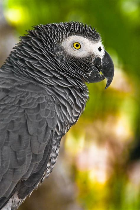 gray parrot bird snatching bandits kidnap african grey parrot to near extinction in ghana environews the