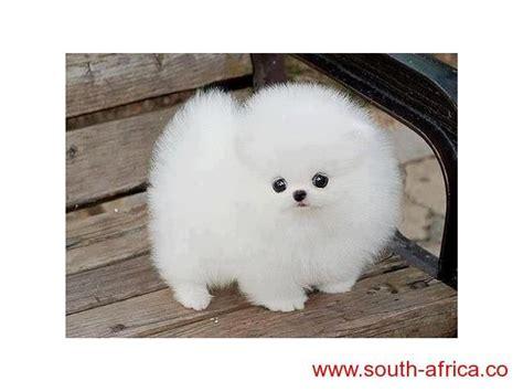 teacup pekingese puppies  sale south africa cute