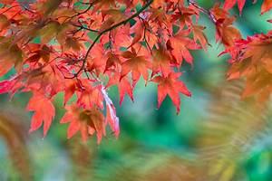 Rote Blätter Baum : roter ahorn wird gr n woran kann 39 s liegen ~ Michelbontemps.com Haus und Dekorationen