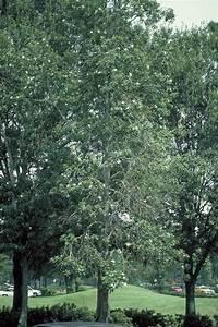 Loblolly Bay - Tree Selection - Landscape Plants