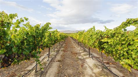 wineries washington grapes vineyard spaces getty growing under northwest pacific drink fertile vineyards yakima known valley its state