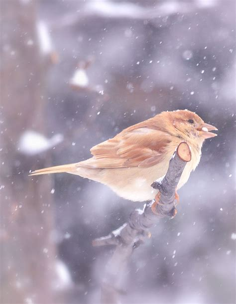 leucistic house sparrow does it look like a finch