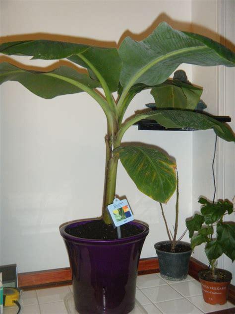 mon bananier au jardin forum de jardinage