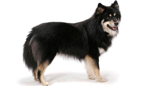 finnish lapphund breed information