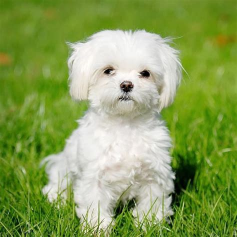 Hypoallergenic Dogs Do Not Shed by Hypoallergenic Dogs 28 Dogs That Don T Shed