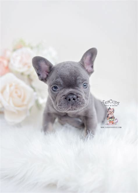 blue  tan french bulldogs teacup puppies boutique