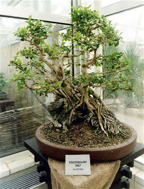 Ficus Ginseng Pflege Tipps by Bonsai Ginseng Bonsai Pflege Ginseng Bonsai Baum Pflege