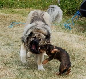 Russian Mountain Dog Attack