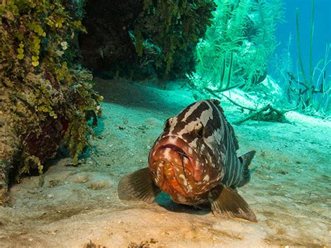 grouper nassau fishing fish lobster banned tci months three striped eat dining week