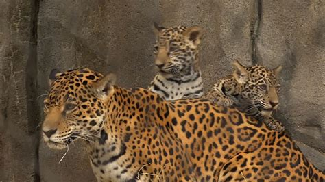 Houston Zoo Debuts 2 Baby Jaguars