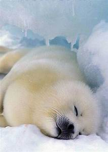1000+ images about Harp seals on Pinterest | Canada, Harp ...