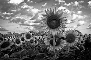 Black & White Sunflowers at McKee Beshers-1312 | Ceasar ...
