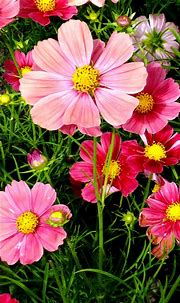 Pink Cosmos Flowers Wallpapers | HD Wallpapers | ID #18557